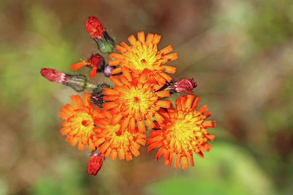 Wall Art - Photograph - Orange Hawkweed Bouquet by Debbie Oppermann