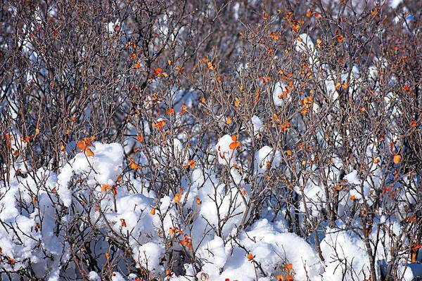 Photograph - Orange Leaves In The Snow by Jon Burch Photography