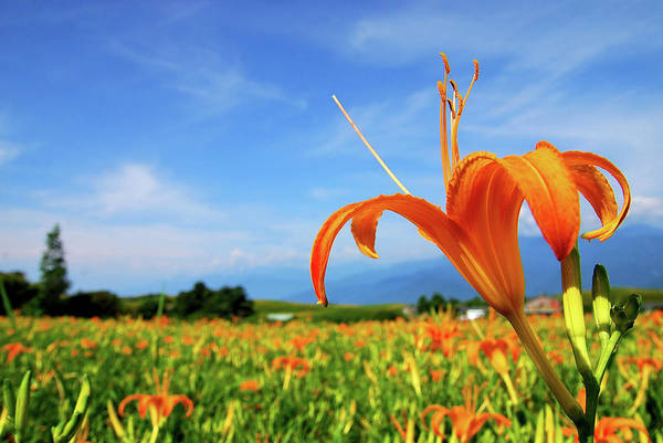 Orange Lily Flower Art Print