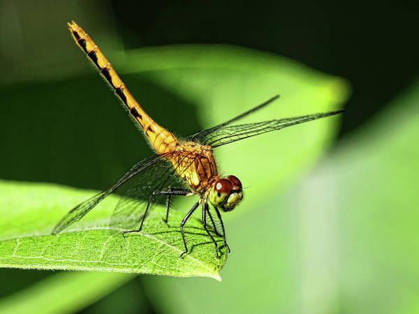 Photograph - Orange Meadowhawk Dragonfly On Leaf by Dale Kauzlaric