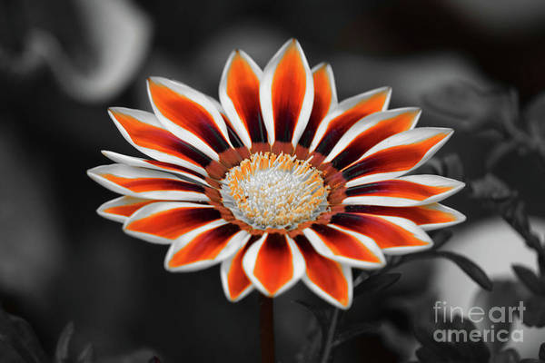 Photograph - Orange Only Gazania by Patti Whitten