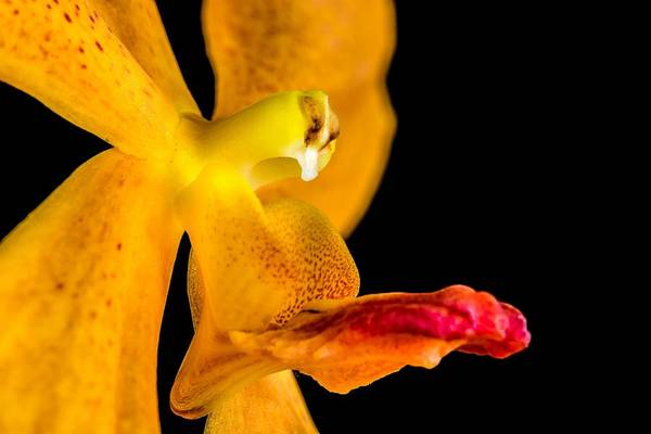 Photograph - Orange Orchid On Black 1 by Art Shack