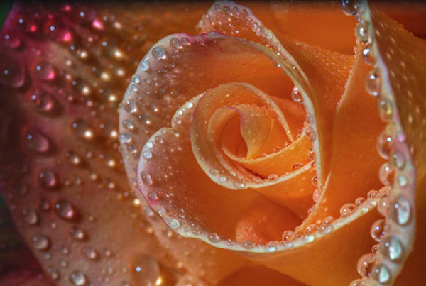Photograph - Orange Pink Mardi Gras Rose by Jonathan Hansen