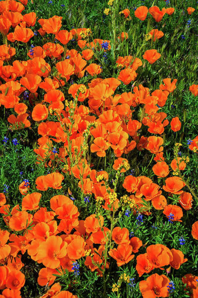 Photograph - Orange Poppies Of The California Superbloom Of 2019 by Lynn Bauer