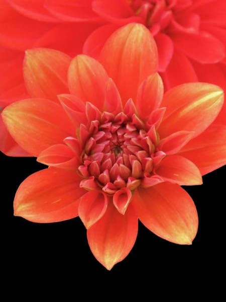 Photograph - Orange Red Dahlia Opening Up by Johanna Hurmerinta