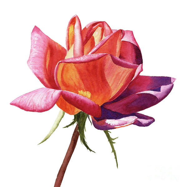 Wall Art - Painting - Orange Rose Bud With Purple Shadows by Sharon Freeman