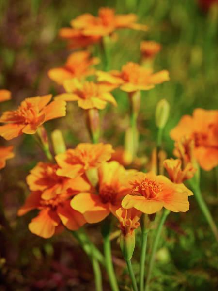 Wall Art - Photograph - Orange Signet Marigold by Jouko Lehto