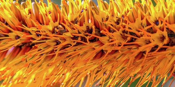 Photograph - Orange Stamens by Mark Shoolery