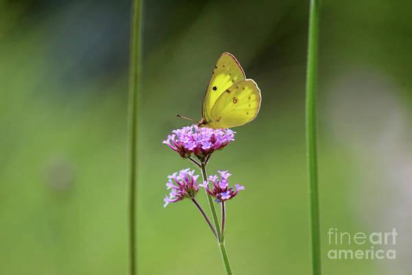 Photograph - Orange Sulphur Butterfly Behind Bars by Karen Adams