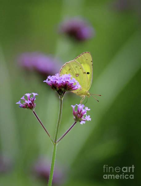 Photograph - Orange Sulphur Butterfly On Verbena by Karen Adams