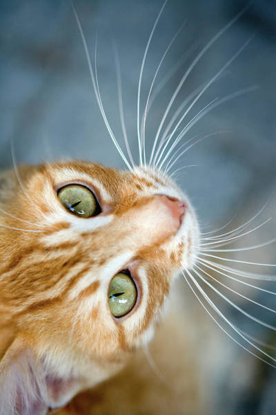 Orange Tabby Photograph - Orange Tabby Cat by Lisa Marie Thompson