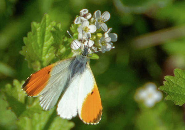 Photograph - Orange Tip Butterfly by Scott Lyons
