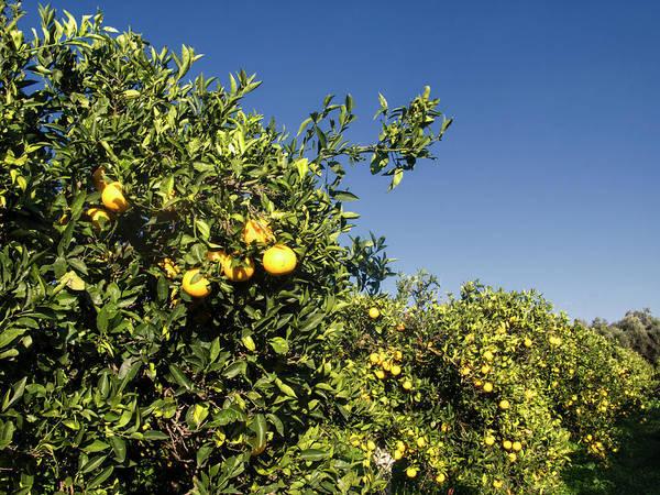 Greece Photograph - Orange Trees, Crete, Greece by Steve Outram