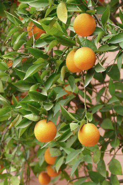 Photograph - Orange Trees In The Garden Of A Luxury Hotel by Steve Estvanik