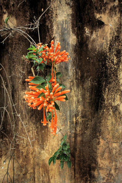 Photograph - Orange Trumpet Vine Africa by Mary Lee Dereske