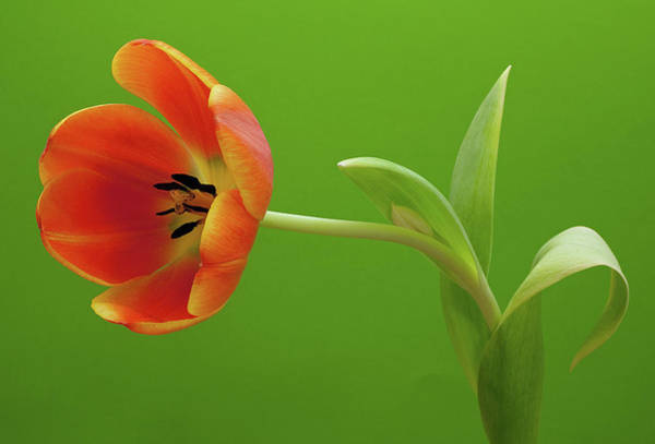 Single Leaf Wall Art - Photograph - Orange Tulip by Kim Haddon Photography