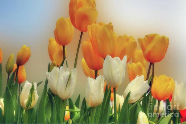 Photograph - Orange Tulips by Elaine Teague