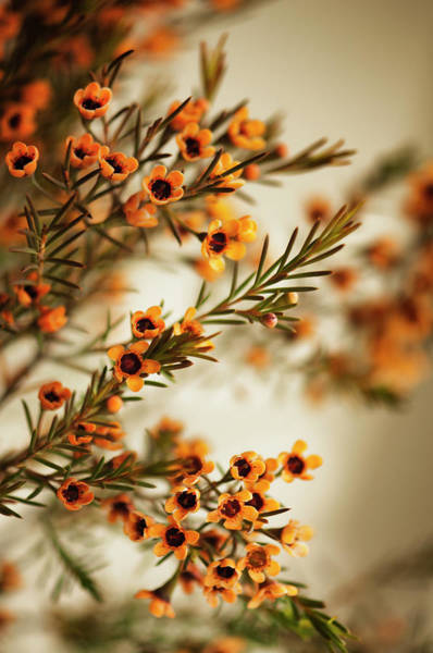 Rockville Photograph - Orange Waxflowers Chamaelaucium by Maria Mosolova
