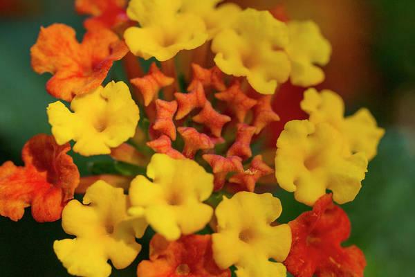 Wall Art - Photograph - Orange Yellow Lantana Flower by Iris Richardson