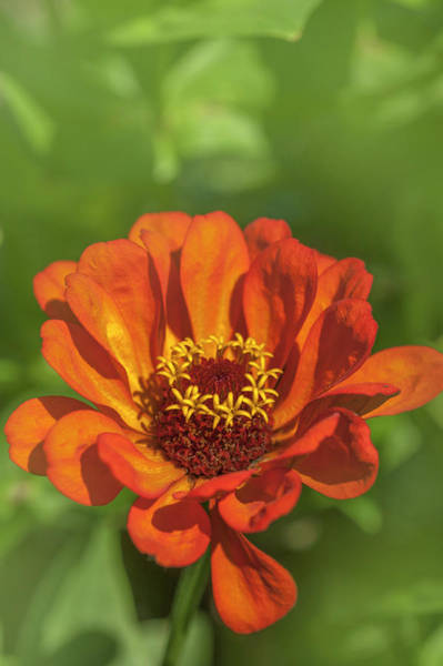 Photograph - orange Zinnia elegans by Jenny Rainbow