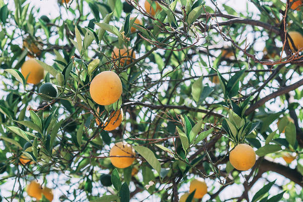 Wall Art - Photograph - Oranges In A Tree by Pati Photography