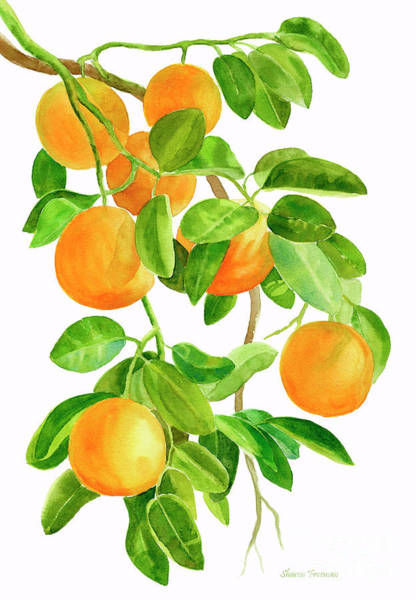 Fruit Painting - Oranges On A Branch by Sharon Freeman