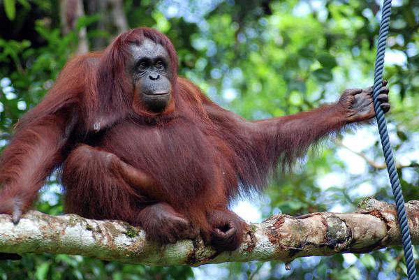 Orangutan Photograph - Orangutan Borneo by Thepurpledoor