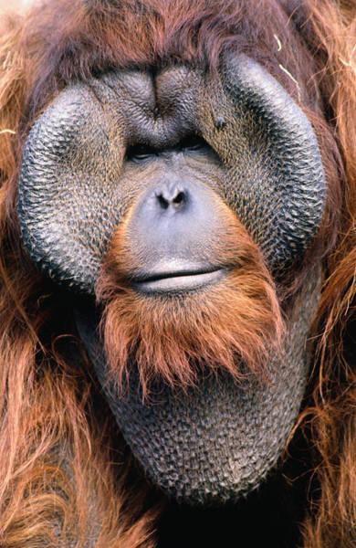 Wall Art - Photograph - Orangutan Pongo Pygmaeus., Indonesia by Mark Newman