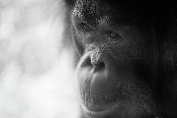 Jakarta Photograph - Orangutan Portrait by Brandon Hoover - Javajive Photography