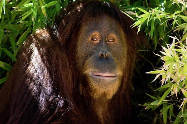 Hiding Photograph - Orangutan Shade by Dansin