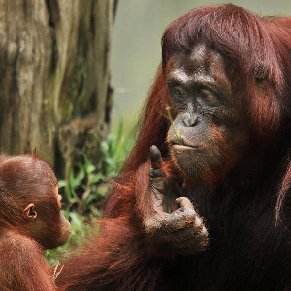 Orangutan Photograph - Orangutan With Baby by By Toonman