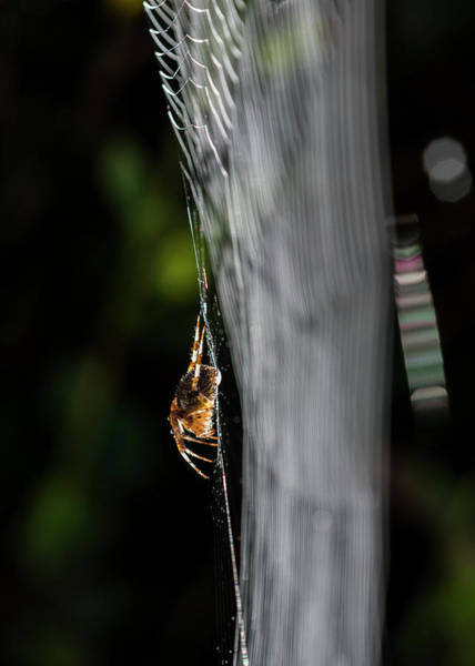 Photograph - Orb Weaver And Sunlight by Robert Potts
