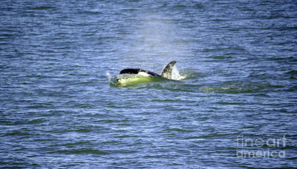 Wall Art - Photograph - Orca Cutting Through The Water by Jeff Swan