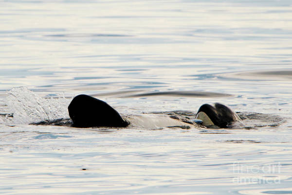 Killer Whales Wall Art - Photograph - Orca Family Time by Mike Dawson