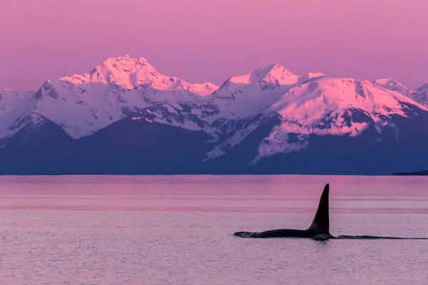 Wall Art - Photograph - Orca Whale  Orcinus Orca by John Hyde