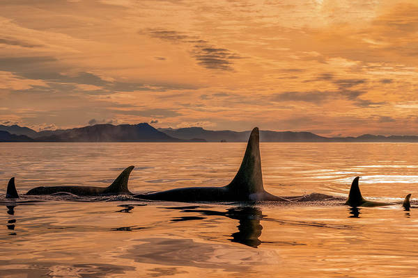 Wall Art - Photograph - Orca Whale  Orcinus Orca  Pod by John Hyde