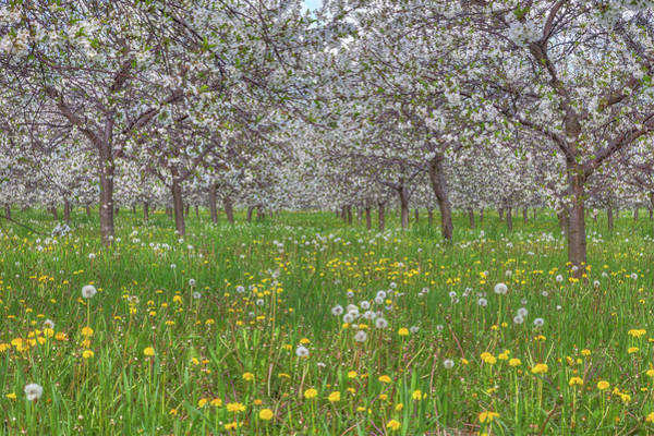 Photograph - Orchard Blooms by Paul Schultz