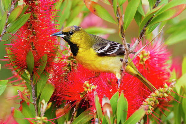Bottlebrush Photograph - Orchard Oriole Icterius Spurius Young by Danita Delimont
