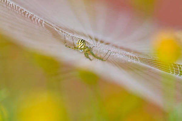 Wall Art - Photograph - Orchard Spider by Michael Lustbader