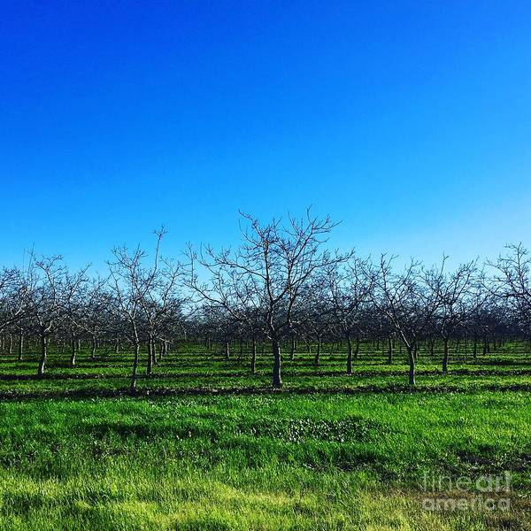 Photograph - Orchard Trees In Blue by Suzanne Lorenz