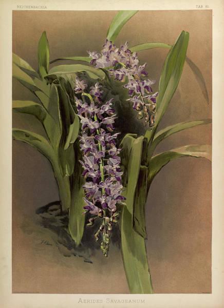 Wall Art - Painting - Orchid, Aerides Savageanum by Henry Frederick Conrad Sander