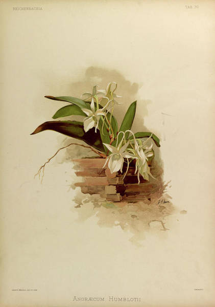 Wall Art - Painting - Orchid, Angraecum Humblotii by Henry Frederick Conrad Sander