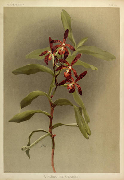 Wall Art - Painting - Orchid, Arachnanthe Clarkei by Henry Frederick Conrad Sander