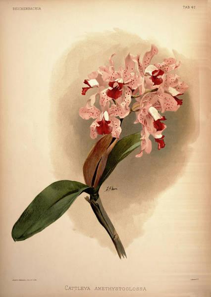 Wall Art - Painting - Orchid, Cattleya Amethystoglossa by Henry Frederick Conrad Sander
