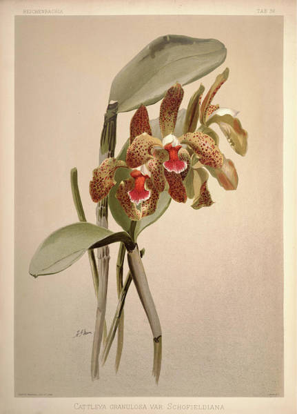 Wall Art - Painting - Orchid, Cattleya Granulosa Var Schofieldiana by Henry Frederick Conrad Sander