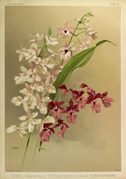 Wall Art - Painting - Orchid, Cattleya Hybrid Calanthes, Victoria Regina, Bella, Burfordiense by Henry Frederick Conrad Sander