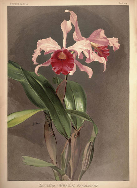 Wall Art - Painting - Orchid, Cattleya Hybrida Arnoldiana by Henry Frederick Conrad Sander