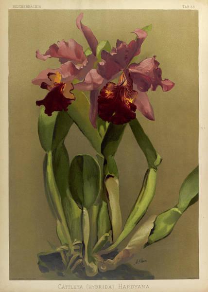 Wall Art - Painting - Orchid, Cattleya Hybrida Hardyana by Henry Frederick Conrad Sander