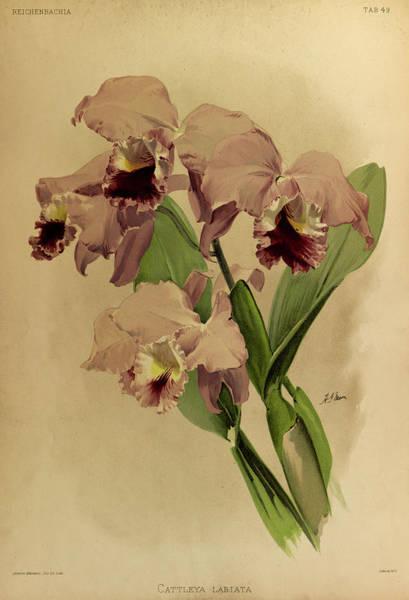 Wall Art - Painting - Orchid, Cattleya Labiata by Henry Frederick Conrad Sander