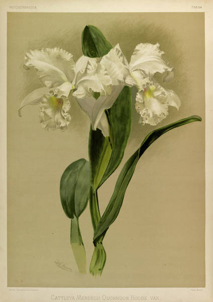 Wall Art - Painting - Orchid, Cattleya Mendelli Quorndon House Var by Henry Frederick Conrad Sander
